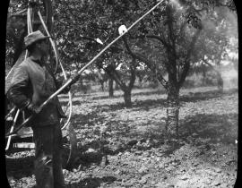 Dusting apple trees for insects in 1932. Photo courtesy of Our Hanford History.